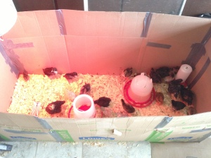 Inside of Brooder Box